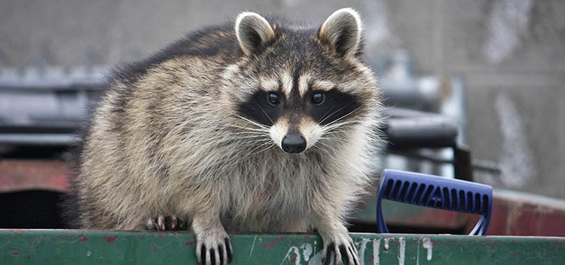 urban wildlife racoon article