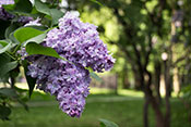 wildwatch lilac