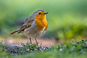 wildwatch robin
