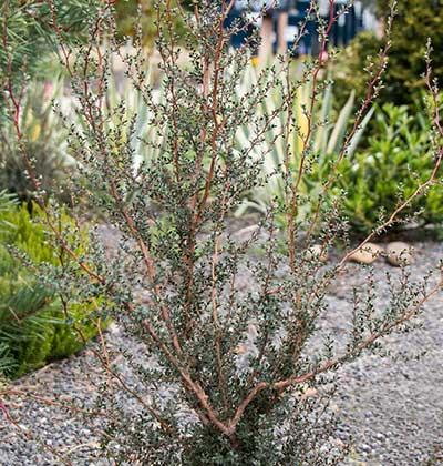 Alpine Tea Tree - Squiggly
